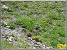 Auteur : Joël D, Commentaire : marmotte photographiée aprés le hameau de Bonnenuit. Pas facile à prendre