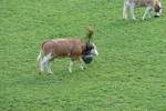 Auteur : Loic L, Commentaire : les vaches ont aussi droit à leur fête !!!