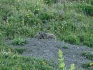 Montée : Col d'Allos depuis Barcelonnette, Commentaire : Maman marmotte et ses deux petits...ça vaut le coup de pédale.